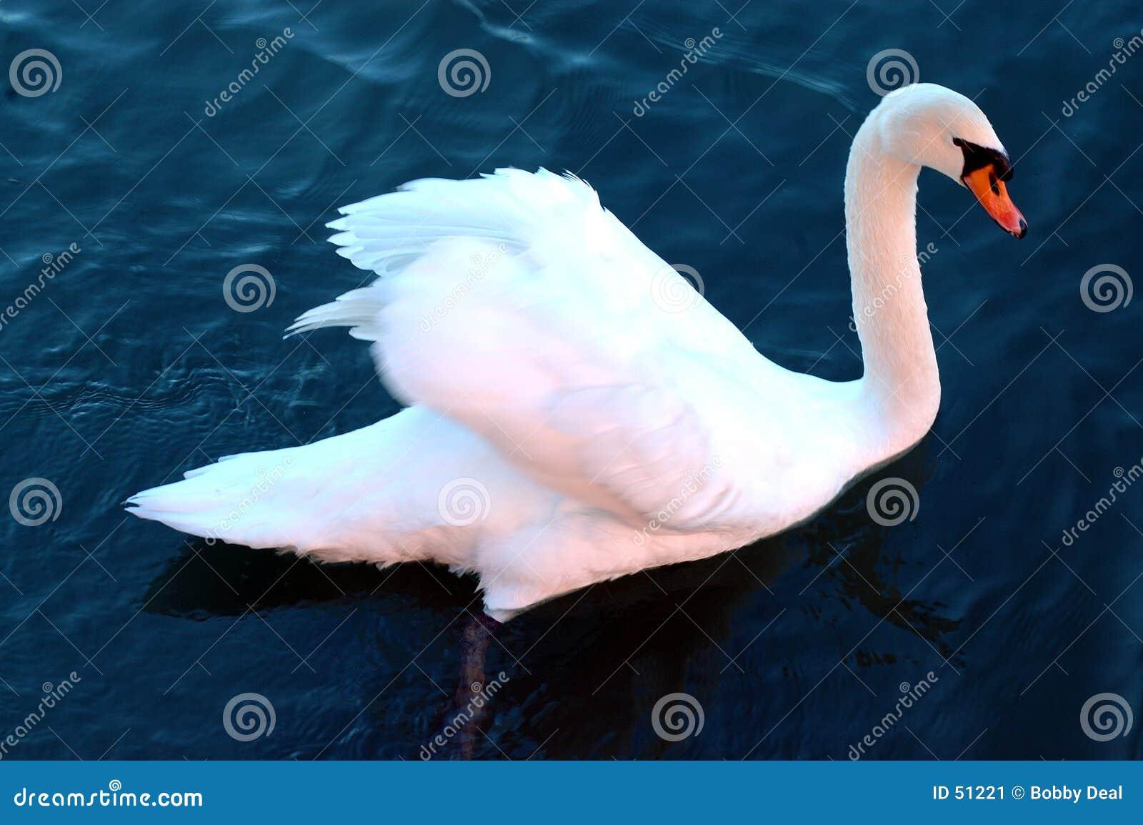 Download κύκνος στοκ εικόνα. εικόνα από birdbaths, ποταμός, φύση - 51221