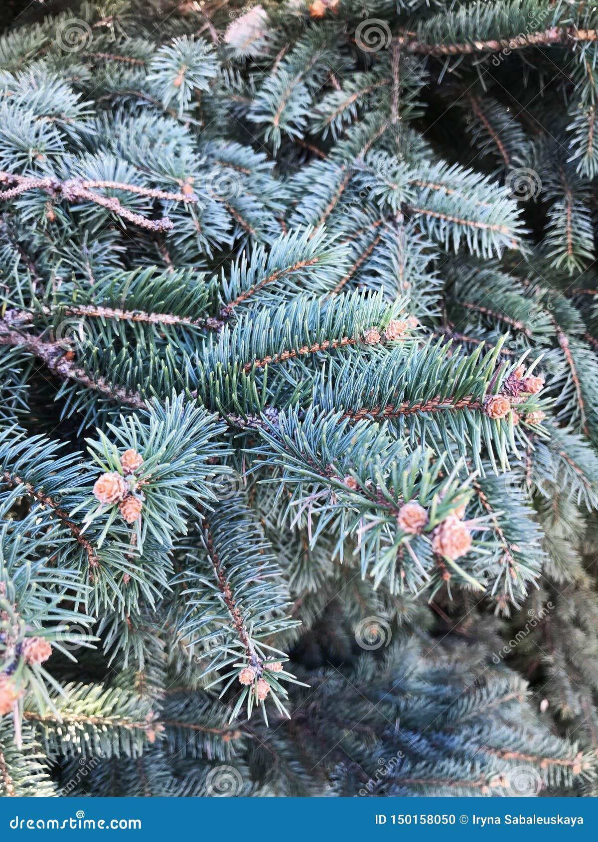 Κώνος στο δέντρο Λίγη ανάπτυξη κομματιών σε ένα δέντρο