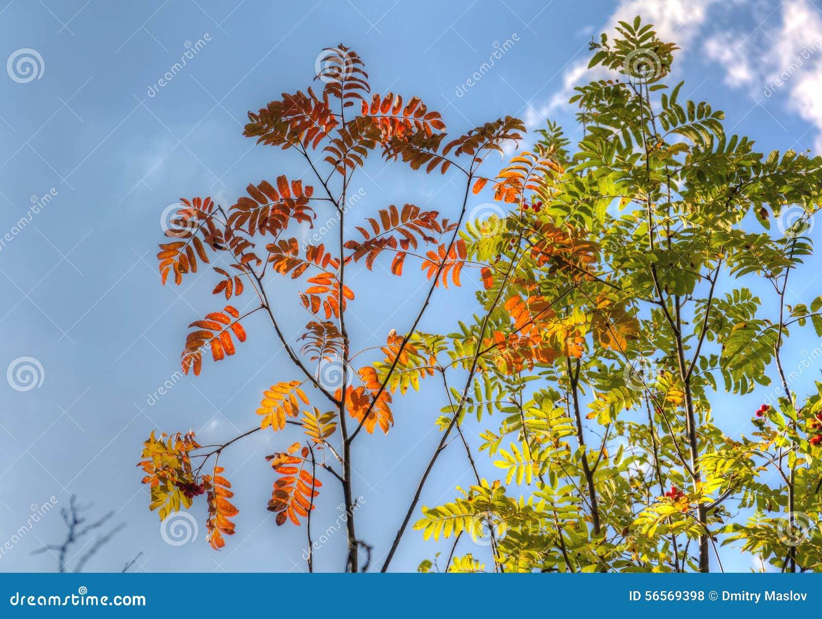 Download Κλάδοι του Rowan στοκ εικόνες. εικόνα από σύννεφο, κόκκινος - 56569398