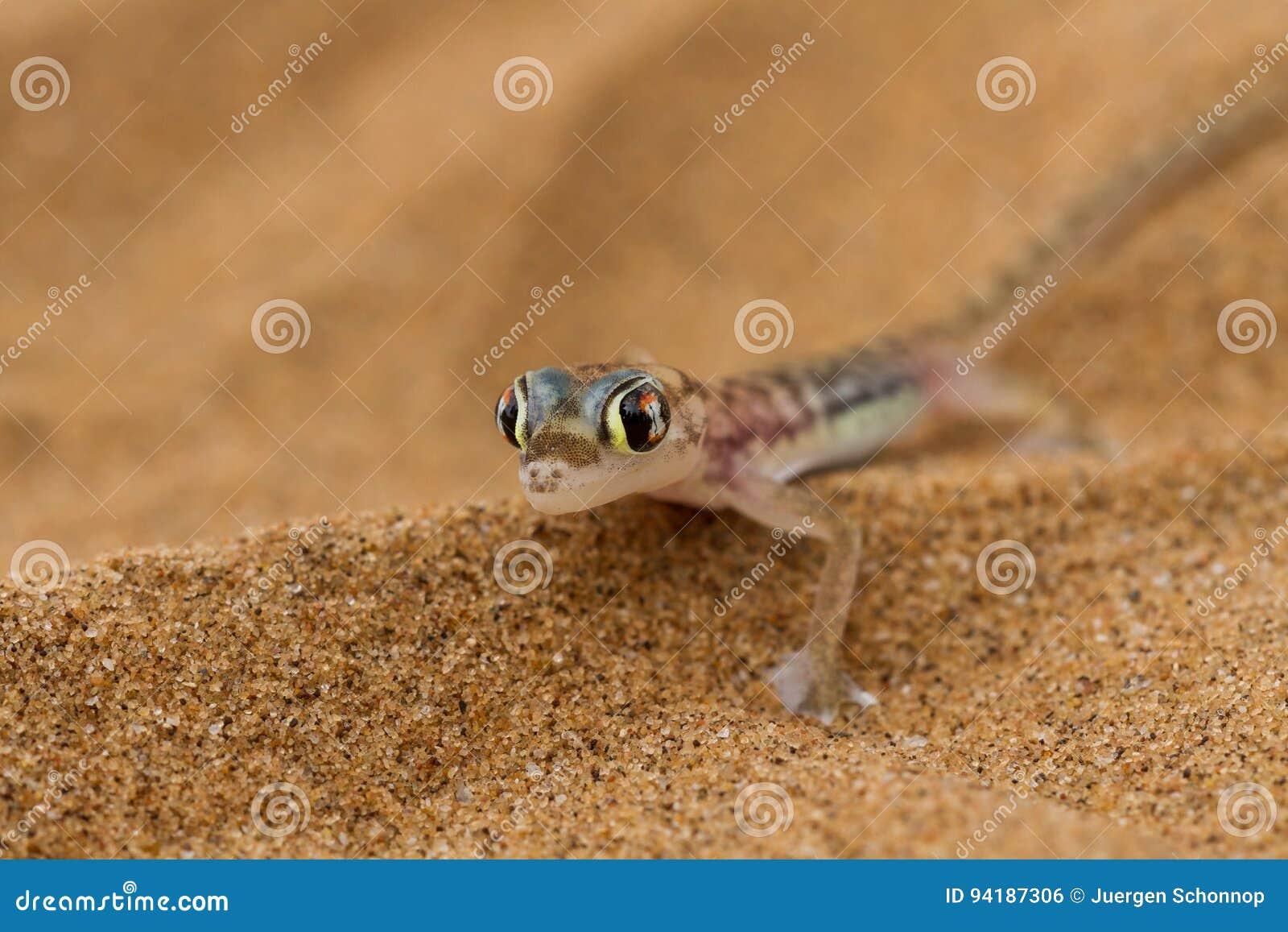 Κλείστε επάνω ένα gecko ερήμων