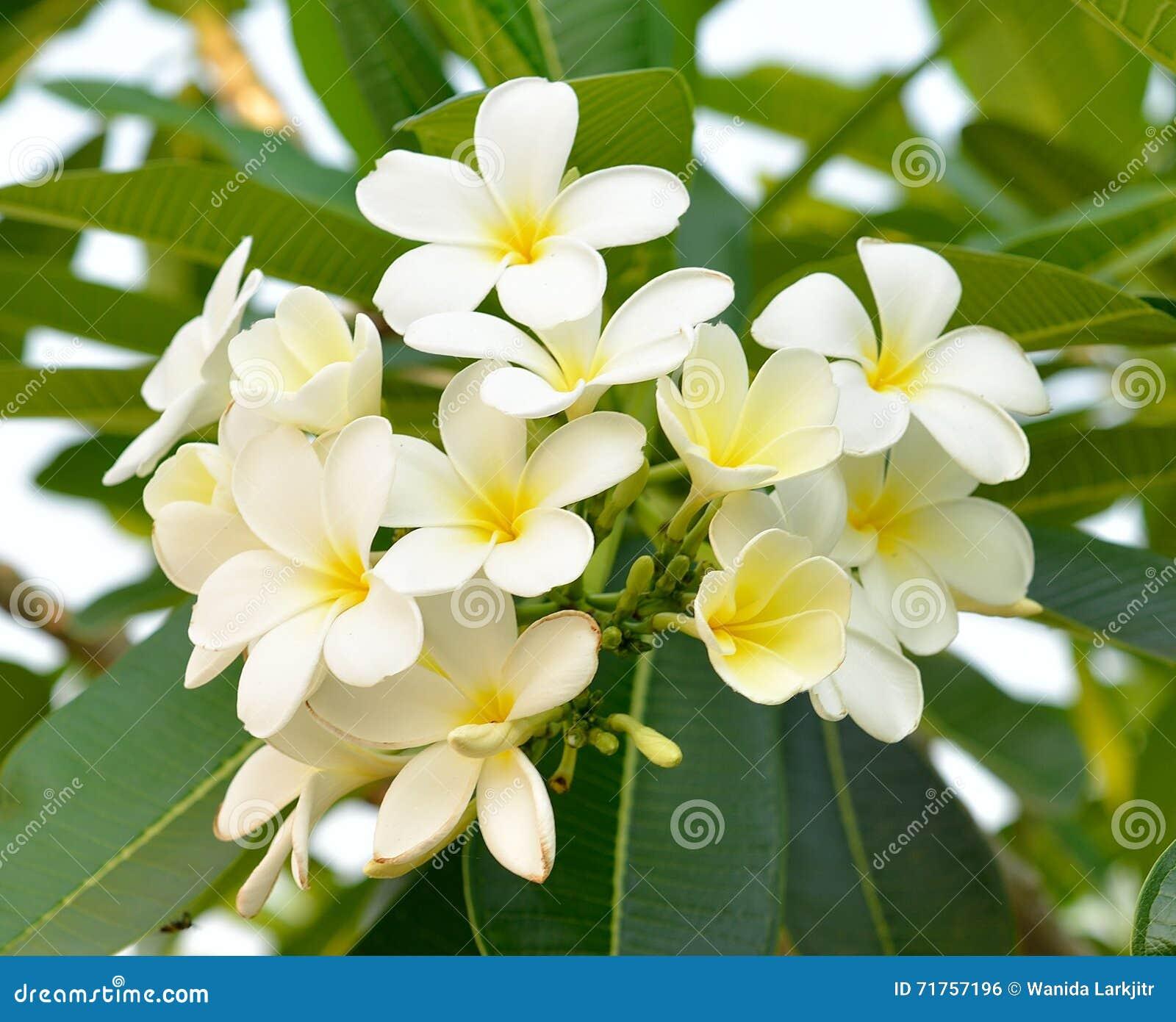 Κλείστε επάνω του άσπρου λουλουδιού frangipani στο δέντρο