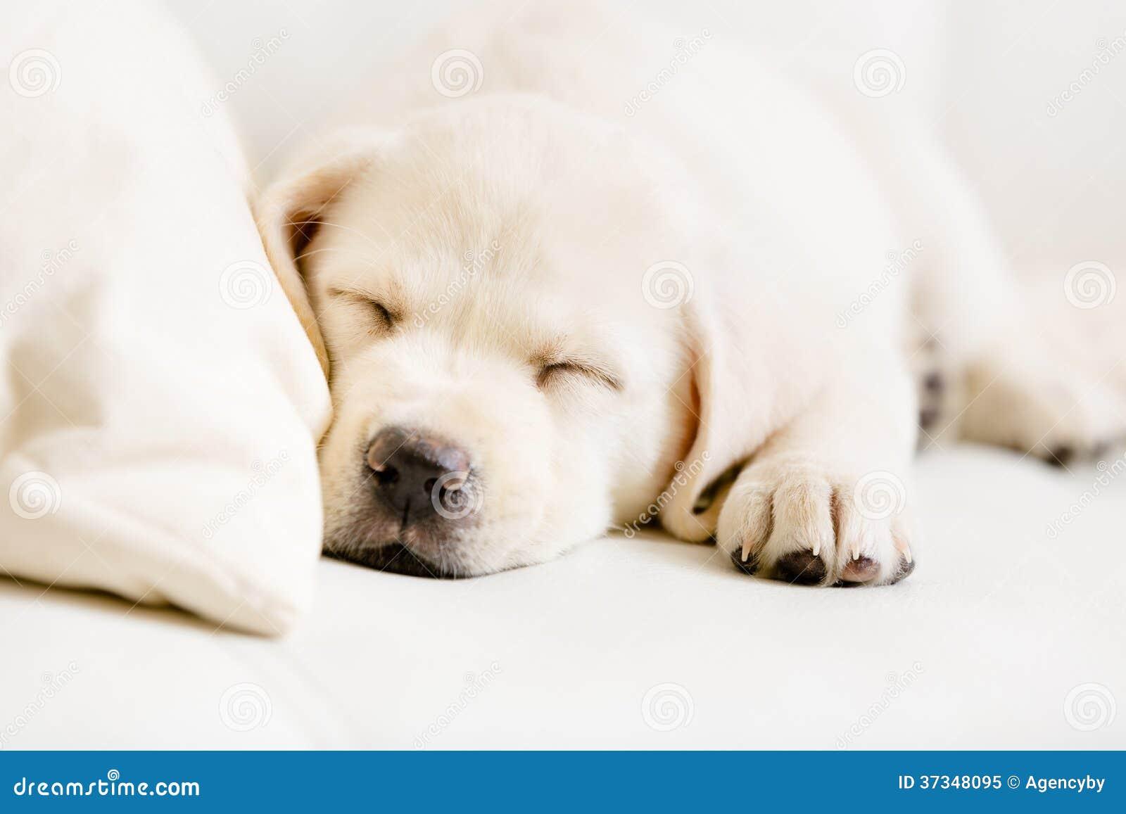 Κλείστε επάνω του κουταβιού του Λαμπραντόρ ύπνου στον καναπέ