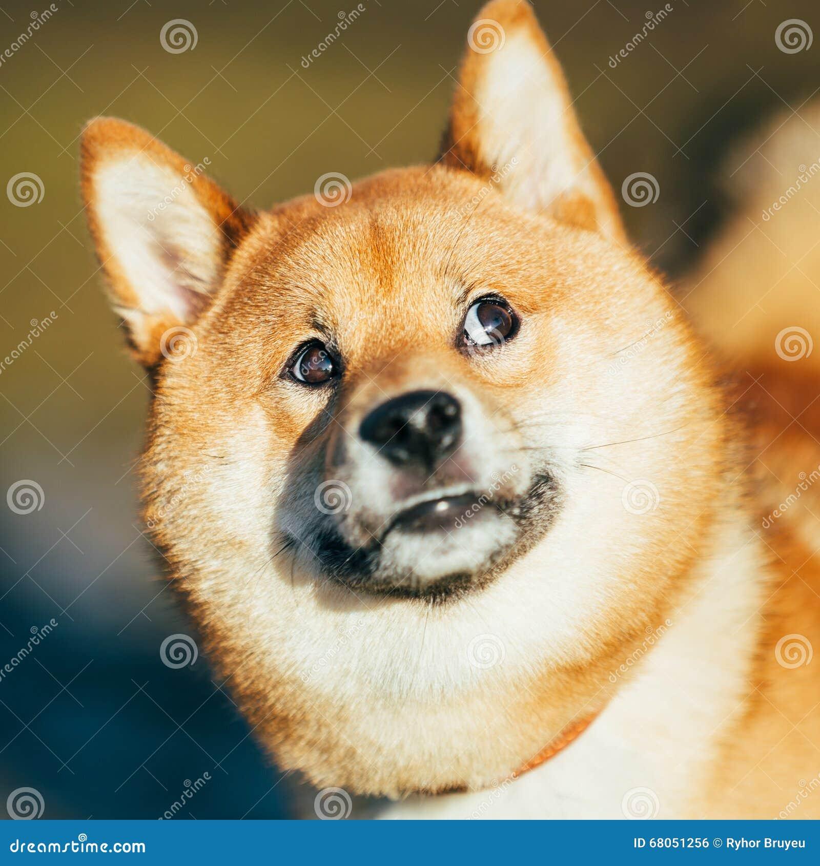 Κλείστε επάνω του όμορφου αστείου νέου κόκκινου σκυλιού Shiba Inu