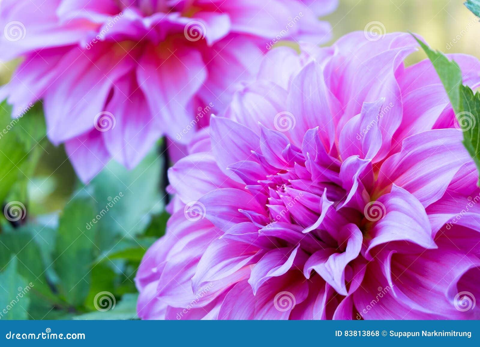 Κλείστε επάνω το όμορφο ρόδινο άνθος λουλουδιών νταλιών και τα πράσινα φύλλα φρέσκο floral φυσικό υπόβαθρο