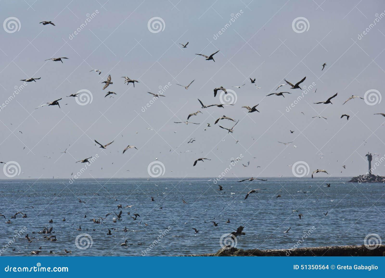 Κλειδαριά των πελεκάνων στην ακτή Καλιφόρνιας
