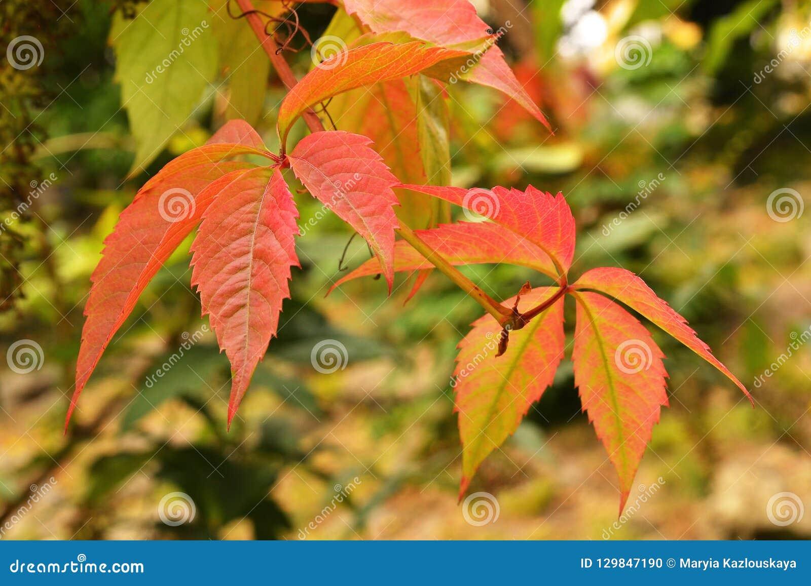 Λίγα κόκκινα φύλλα λυκίσκου σε ένα θολωμένο κιτρινοπράσινο θερμό υπόβαθρο φθινοπώρου