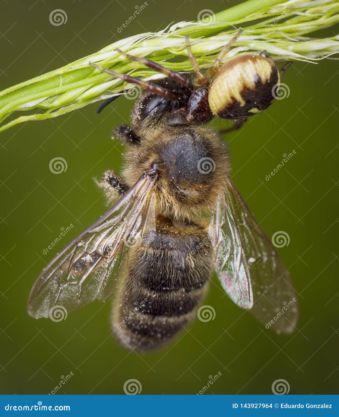Λίγη μέλισσα μελιού που πιάνεται από την αράχνη