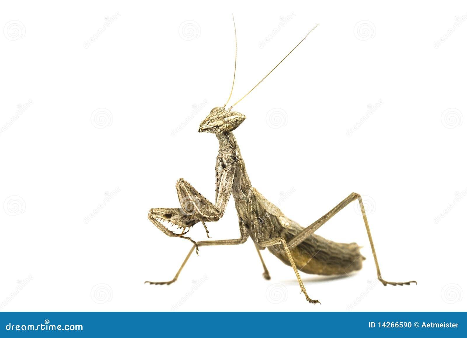 λίγη μακρο mantises επίκληση