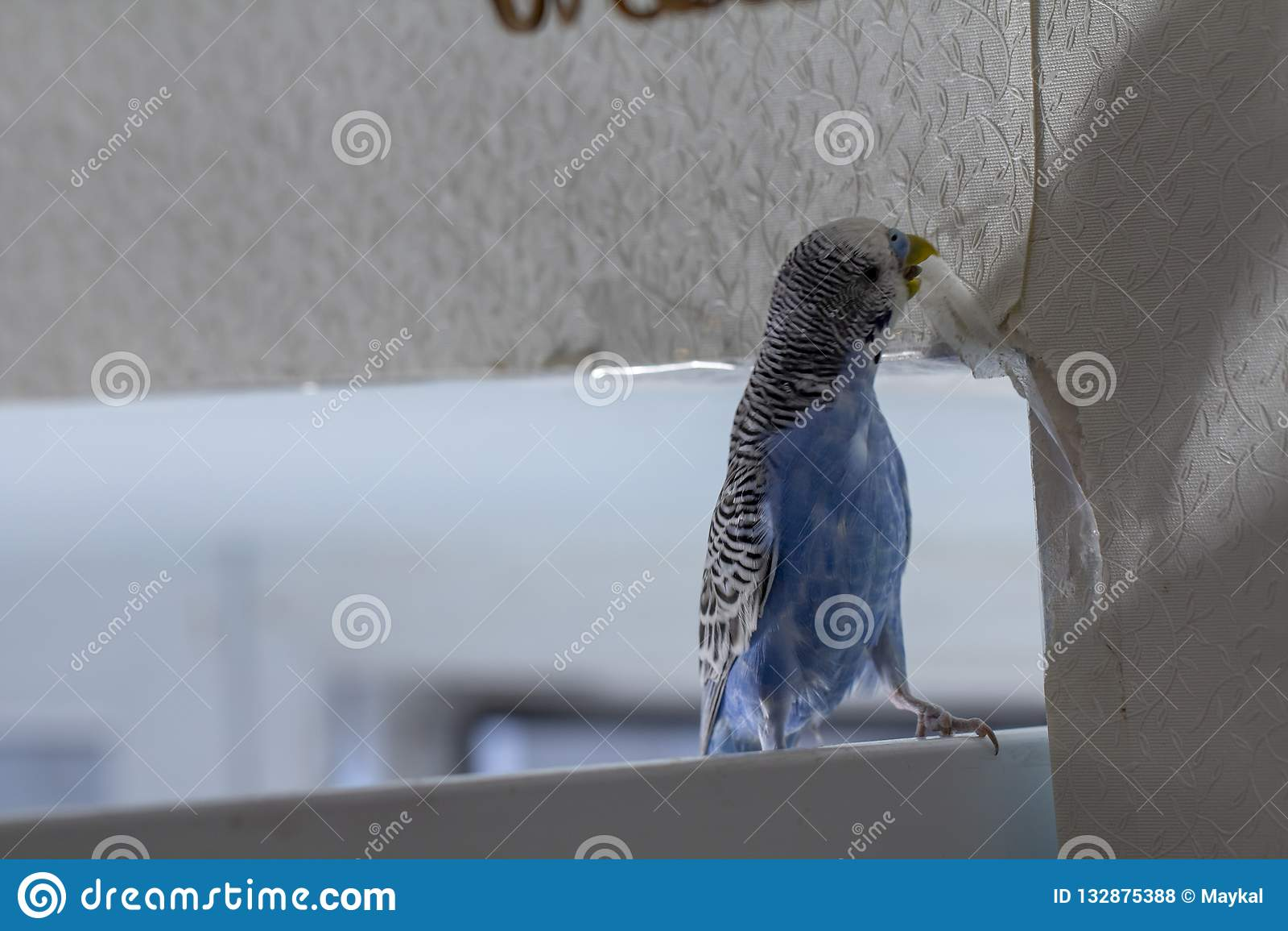 Λίγος μπλε κυματιστός παπαγάλος, που κάθεται σε έναν κλάδο, ροκανίζει τα δάκρυα γρατσουνίζει τον τοίχο, προκαλώντας τη ζημιά στην