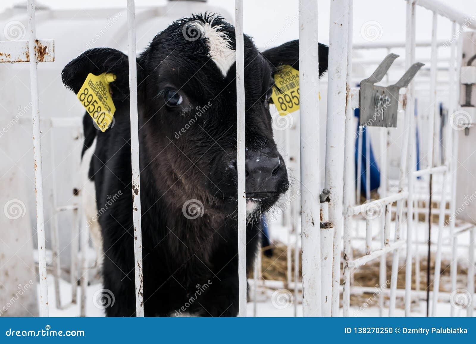 Λίγος μόσχος σε ένα γαλακτοκομικό αγρόκτημα καλλιέργεια