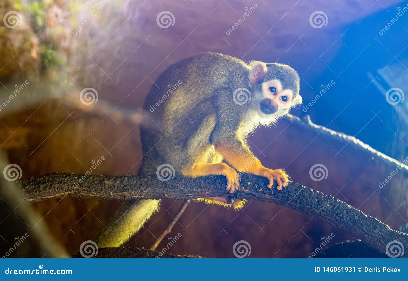 Λίγος πίθηκος σκιούρων, μπλε