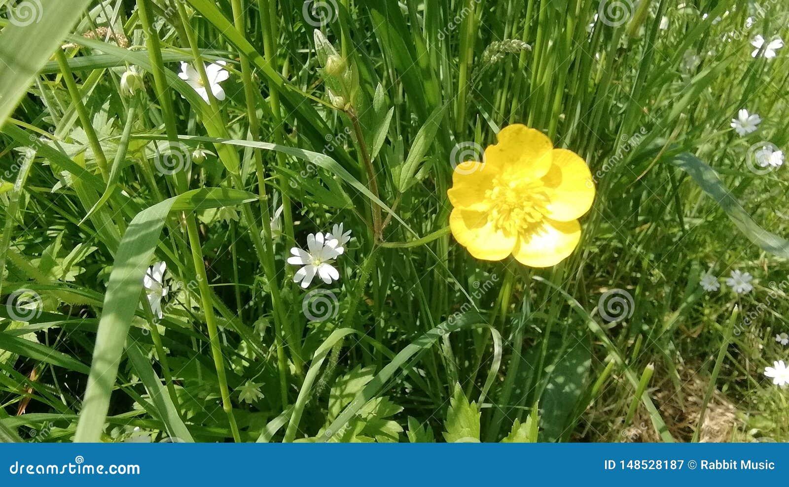 Λίγος butterscotch οφειλόμενος χρόνος άνοιξη λουλουδιών