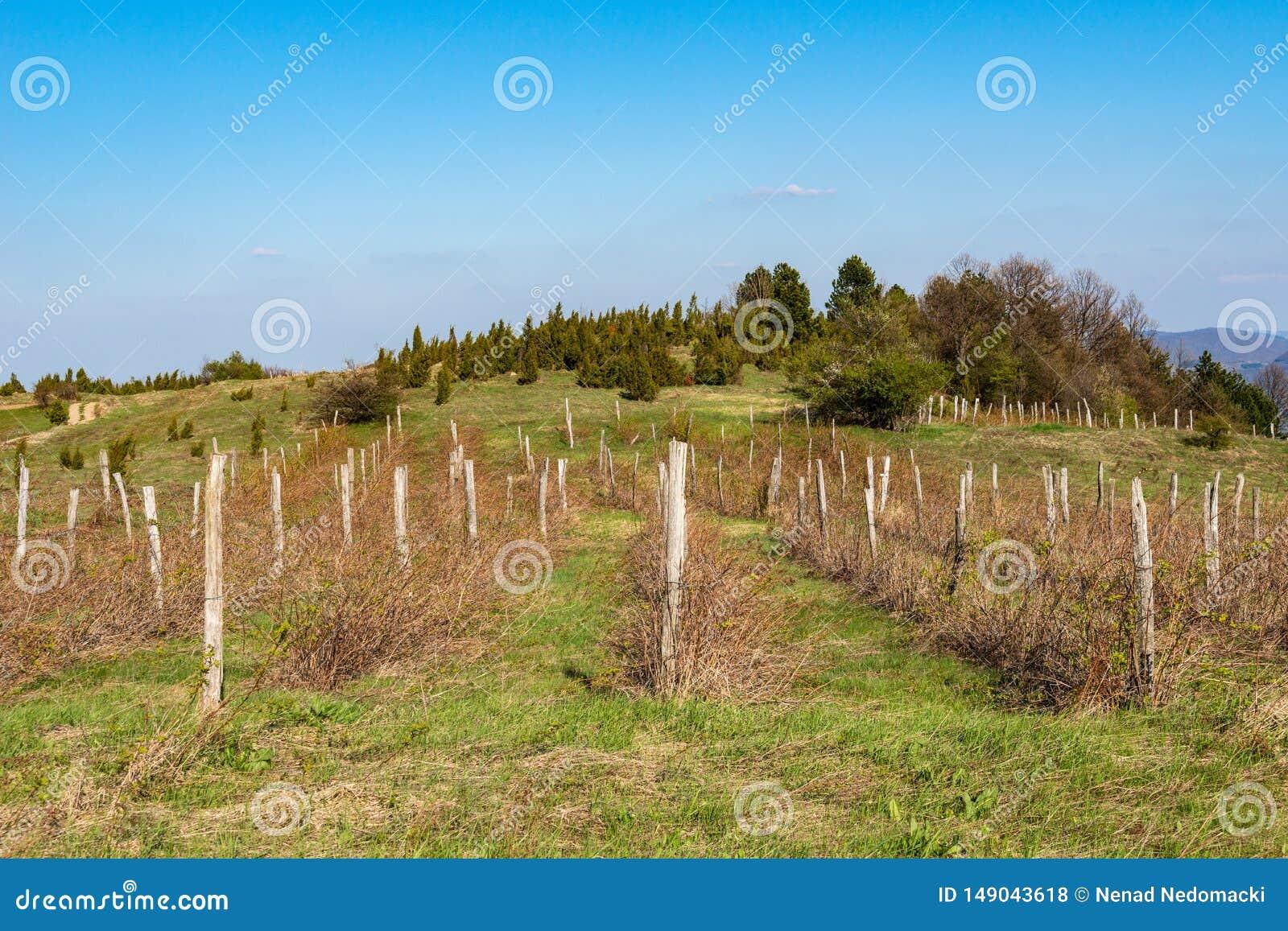 Λίγο αγρόκτημα σμέουρων γραμμών Φυτεία σμέουρων στη Σερβία