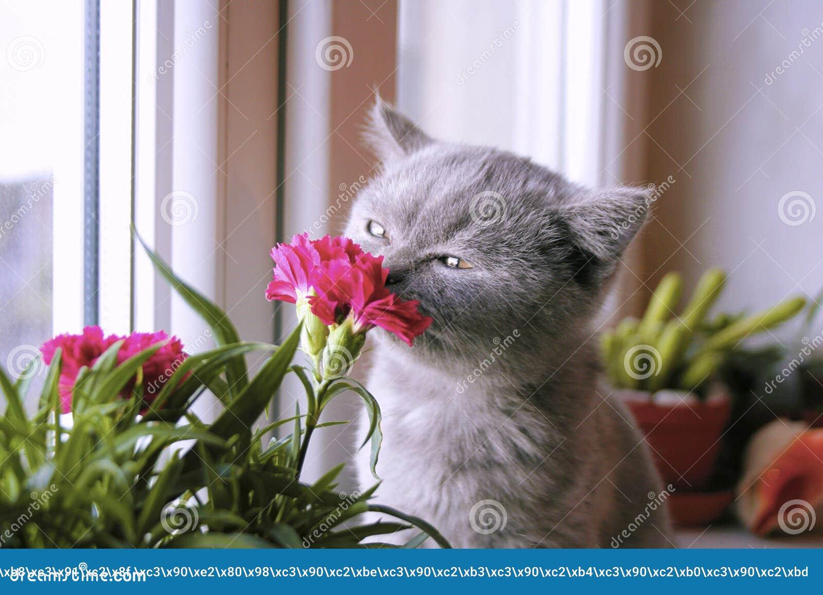 Λίγο γκρίζο γατάκι θαυμάζει το λουλούδι