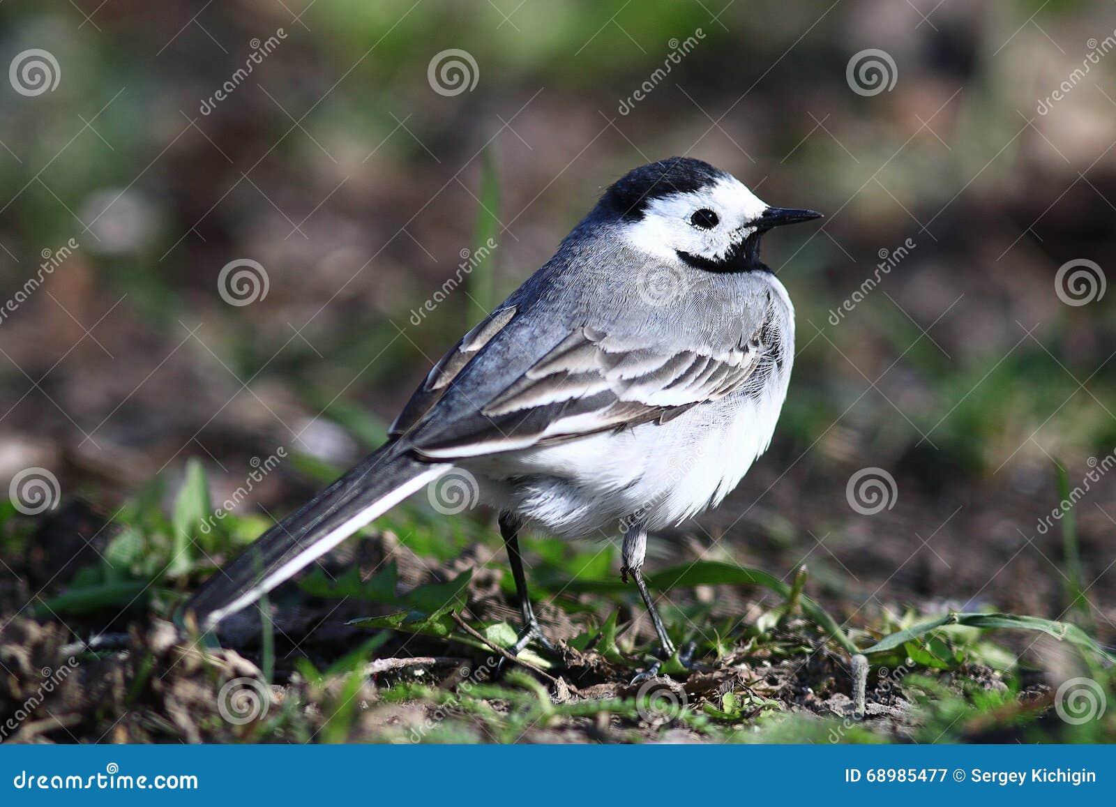 Λίγο πουλί Wagtail