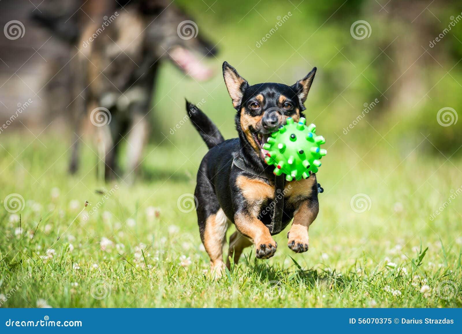 Λίγο σκυλί φέρνει το παιχνίδι
