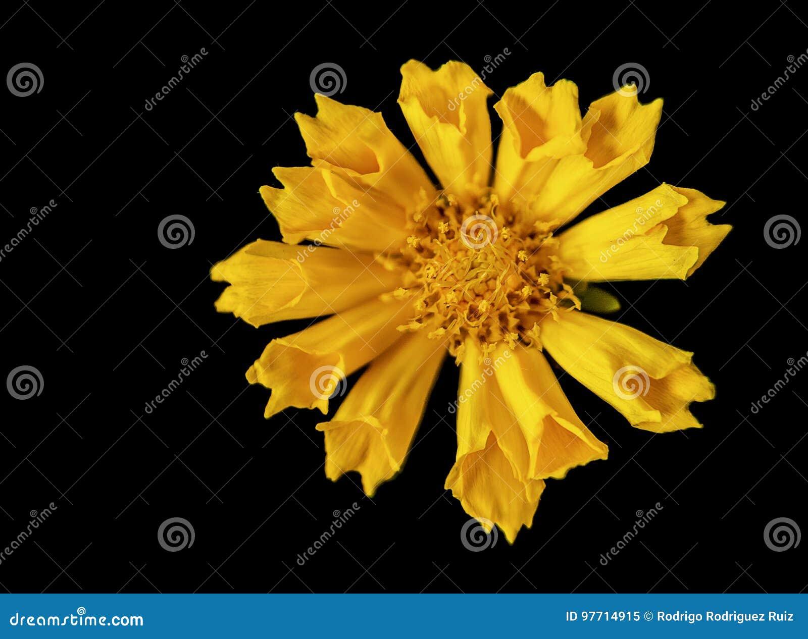 Λίκνισμα του κίτρινου λουλουδιού στο Μαύρο