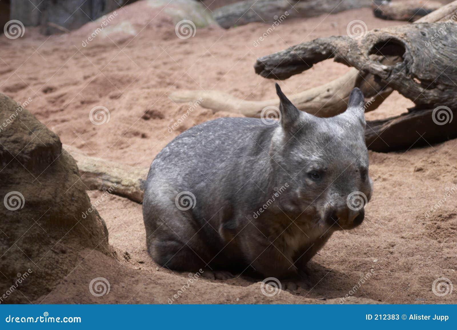 λίπος wombat