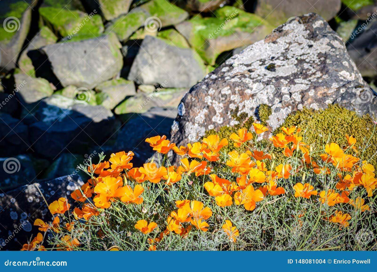 Λαμπρά κίτρινα πορτοκαλιά λουλούδια που αυξάνονται τις άγρια περιοχές υπαίθρια με τους βράχους στο υπόβαθρο