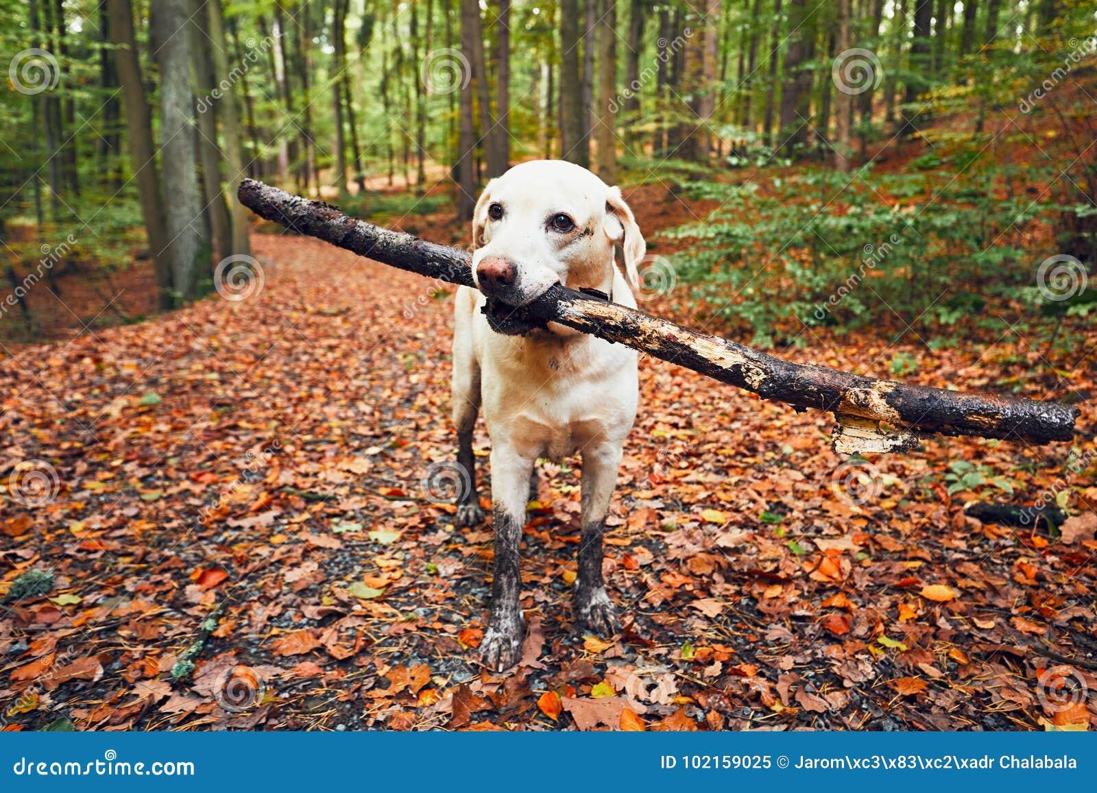 Λασπώδες σκυλί στη φύση φθινοπώρου