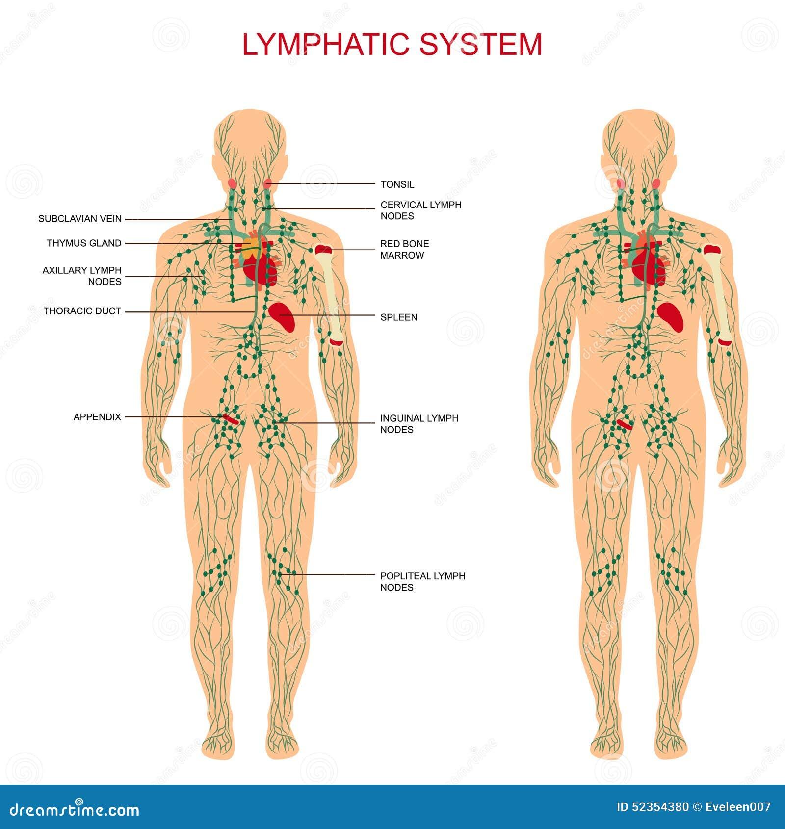 Λεμφατικό σύστημα,