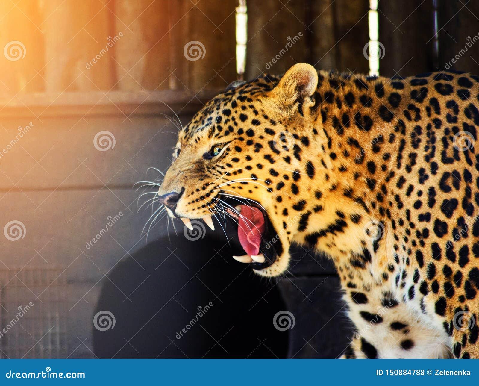 λεοπάρδαληη