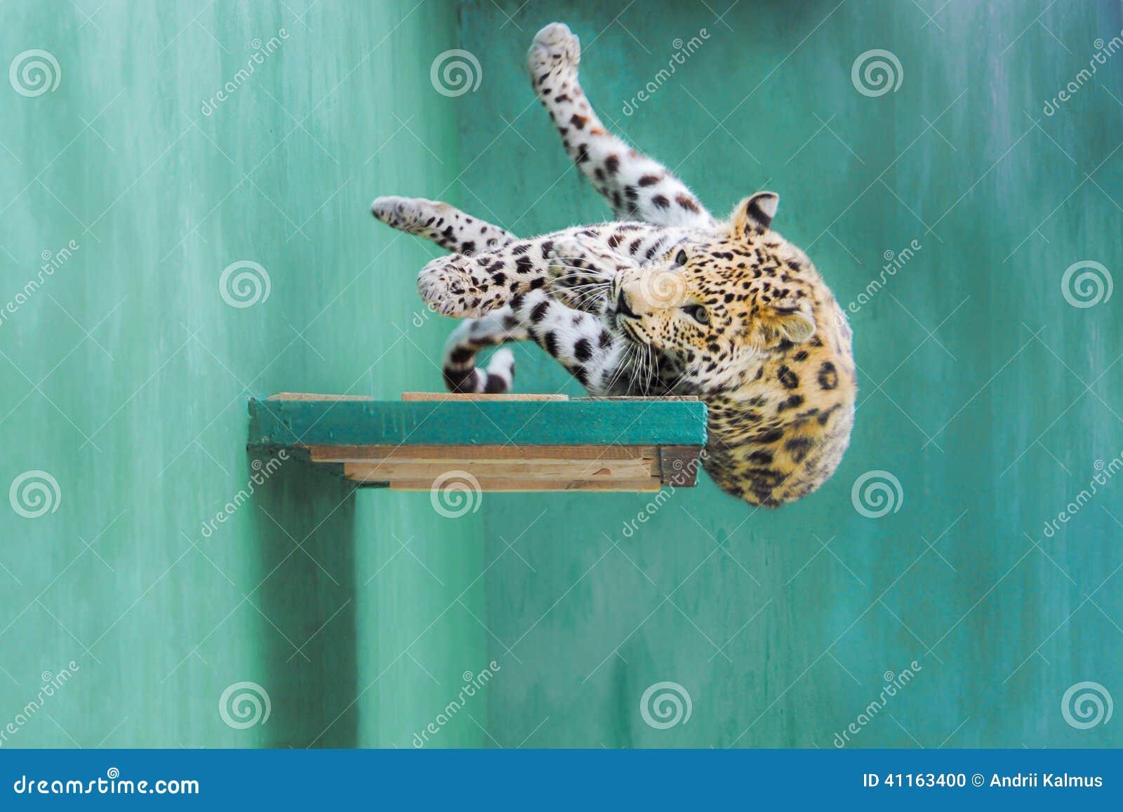 Λεοπάρδαλη που πέφτει από το ράφι