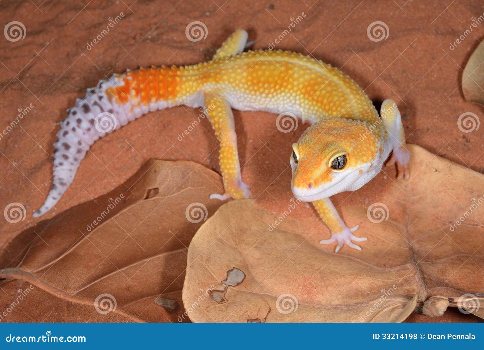 Λεοπάρδαλη Gecko