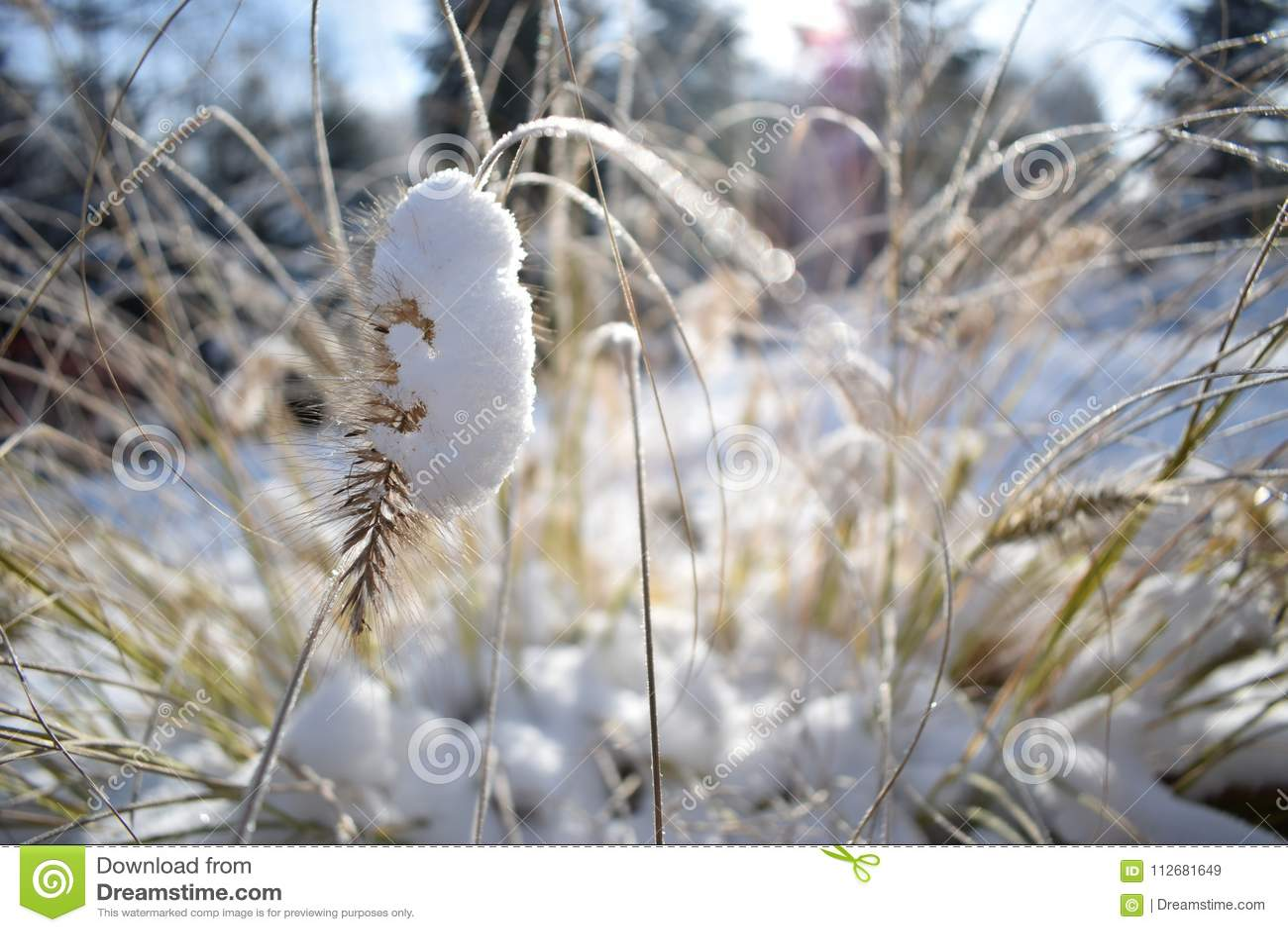 Λεπτομέρεια χειμώνα Λεπίδες της χλόης στο χιόνι Συγκεχυμένο φως ήλιων