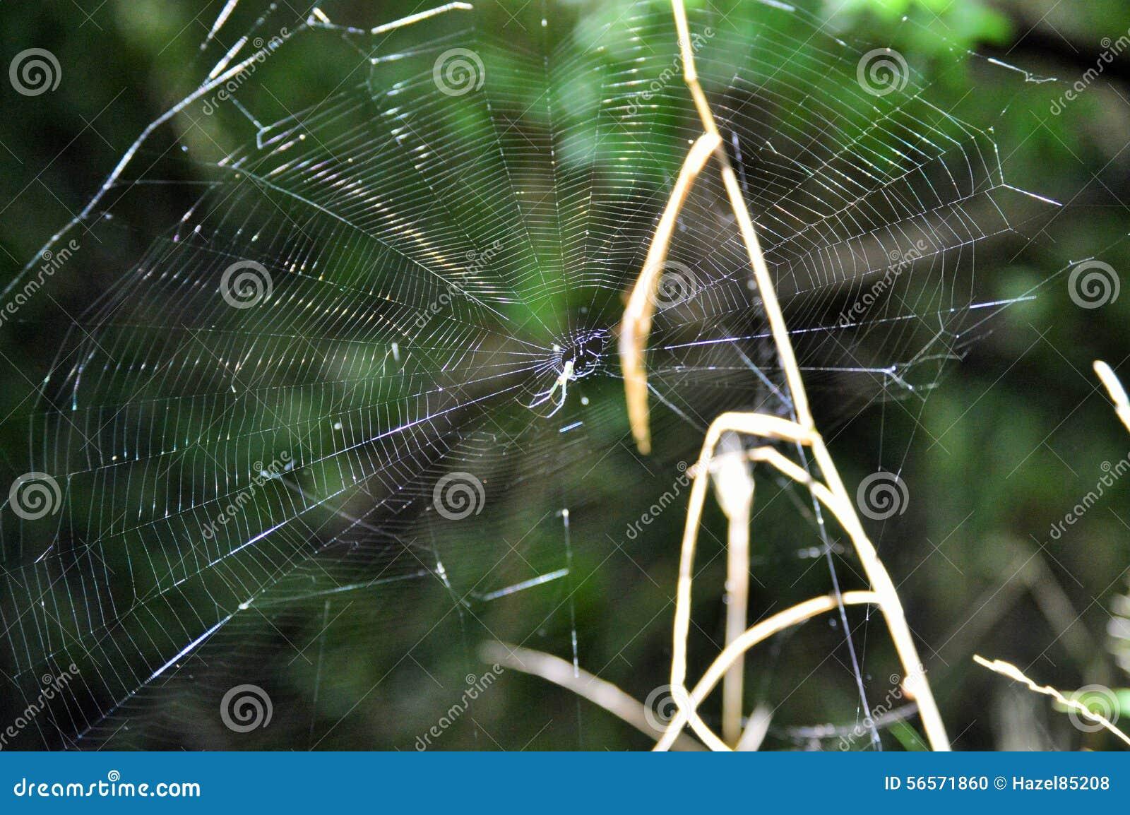 Download Λεπτομέρειες Spiderweb με την αράχνη Στοκ Εικόνες - εικόνα από wildlife, δάσος: 56571860