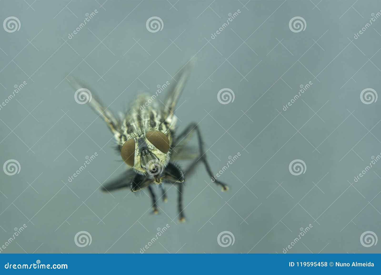 Λεπτομερής μύγα με το γκρίζο υπόβαθρο