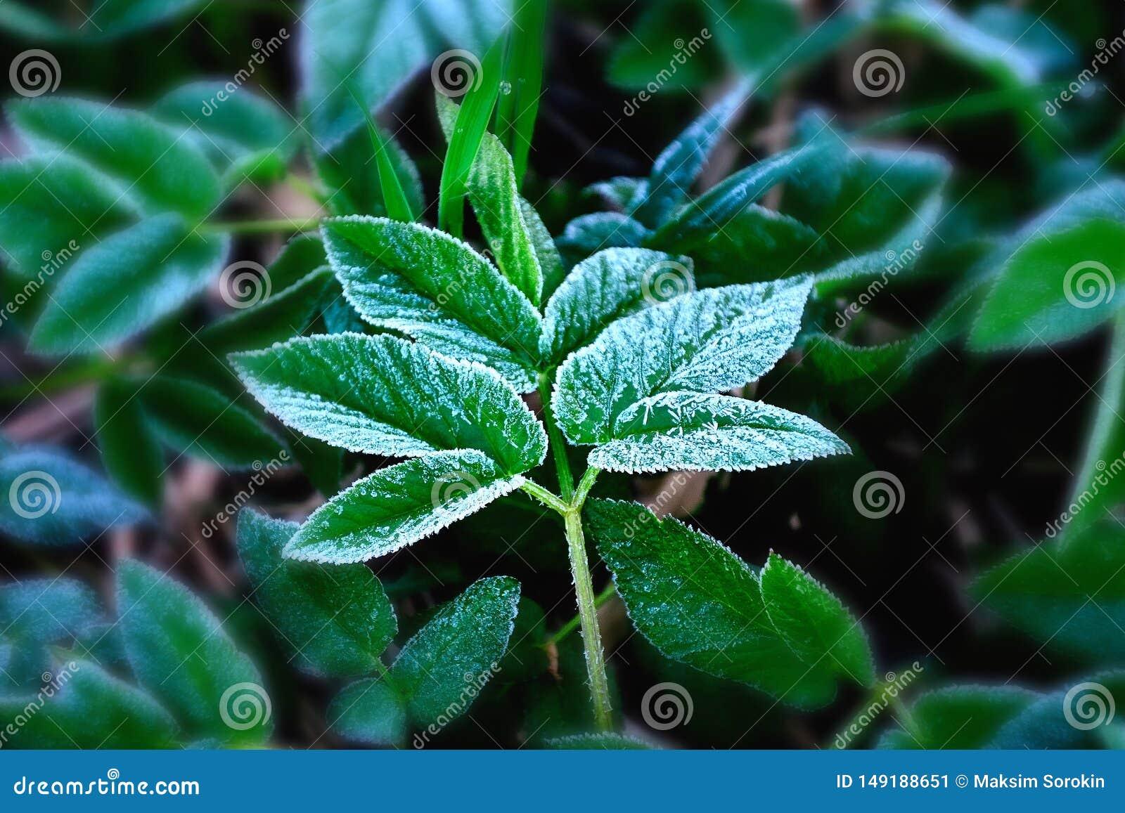 Λεπτός ασημένιος παγετός σε ένα πράσινο φύλλο