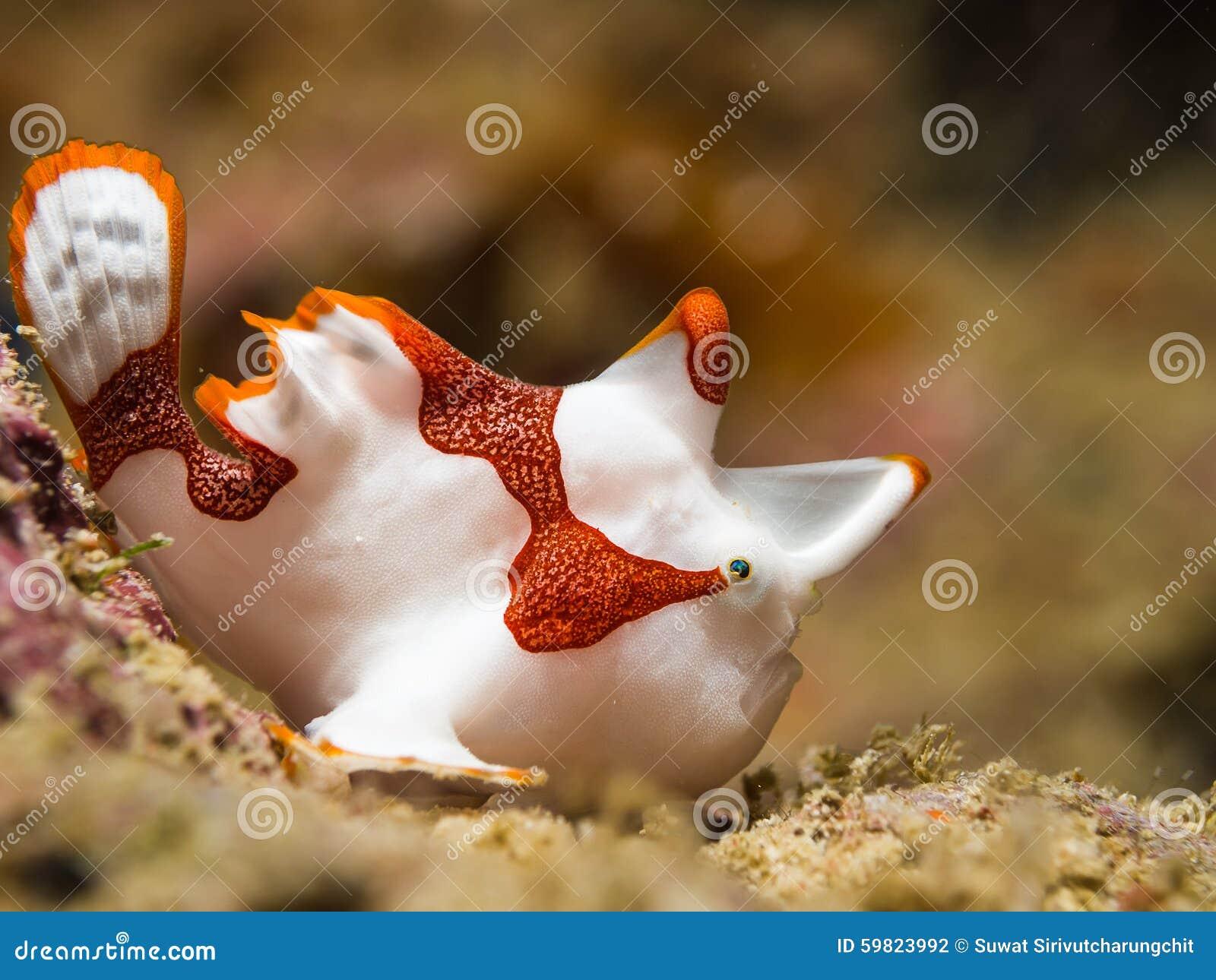 Λευκός κλόουν Frogfish