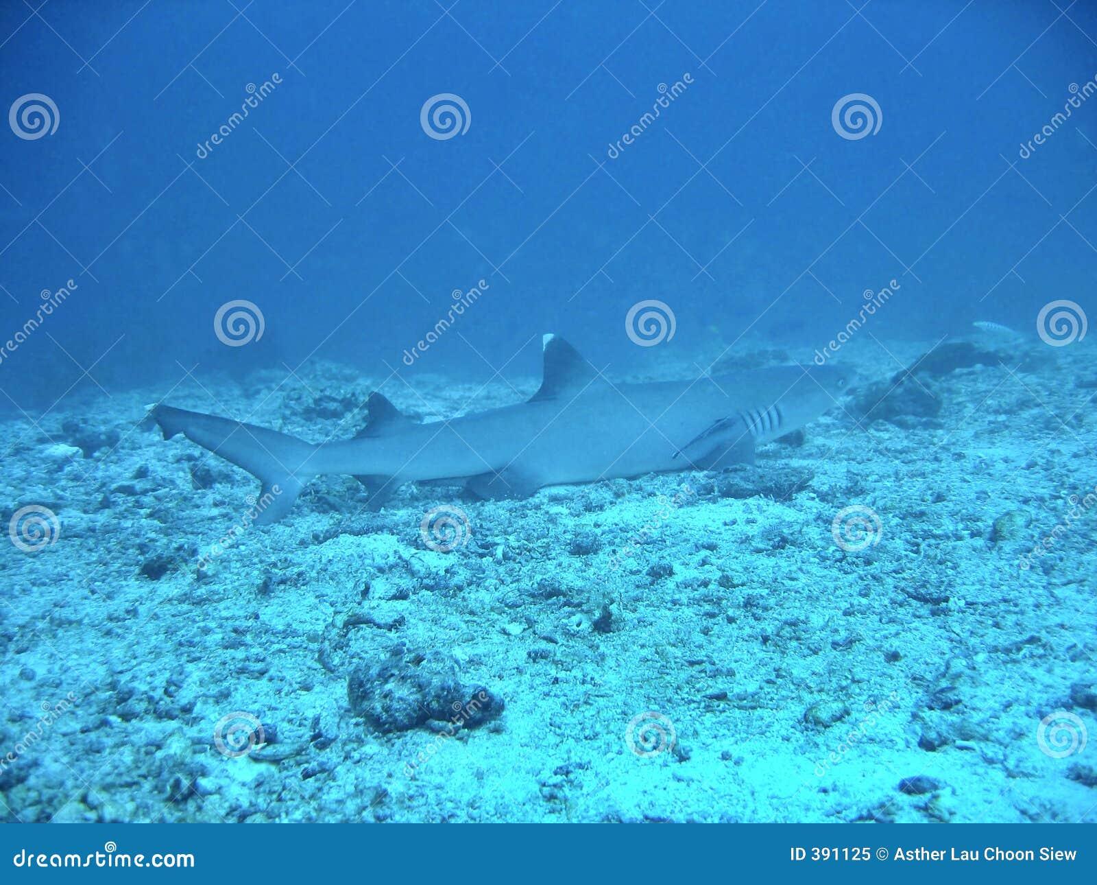 λευκό ακρών καρχαριών