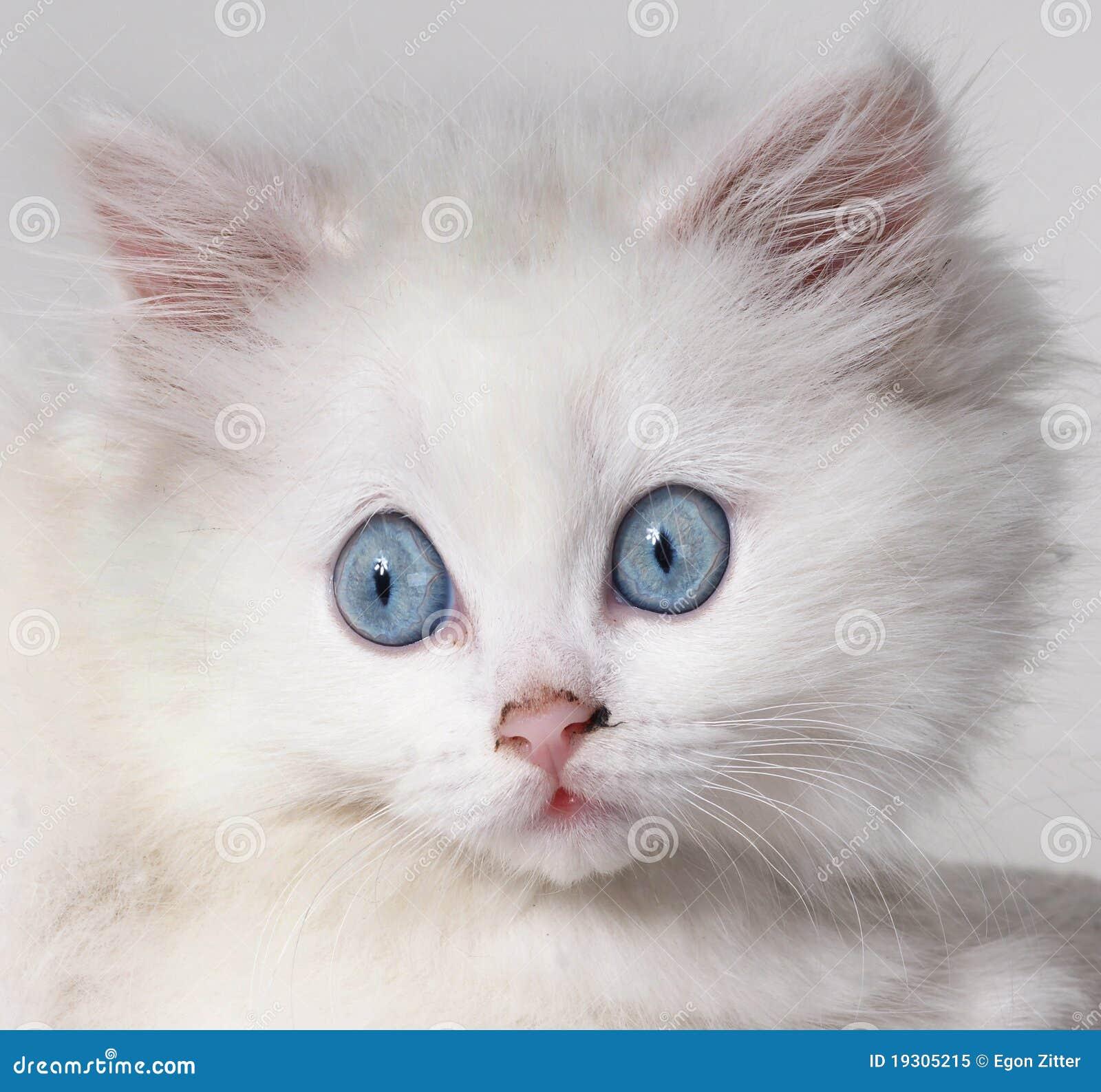 λευκό γατακιών γατών