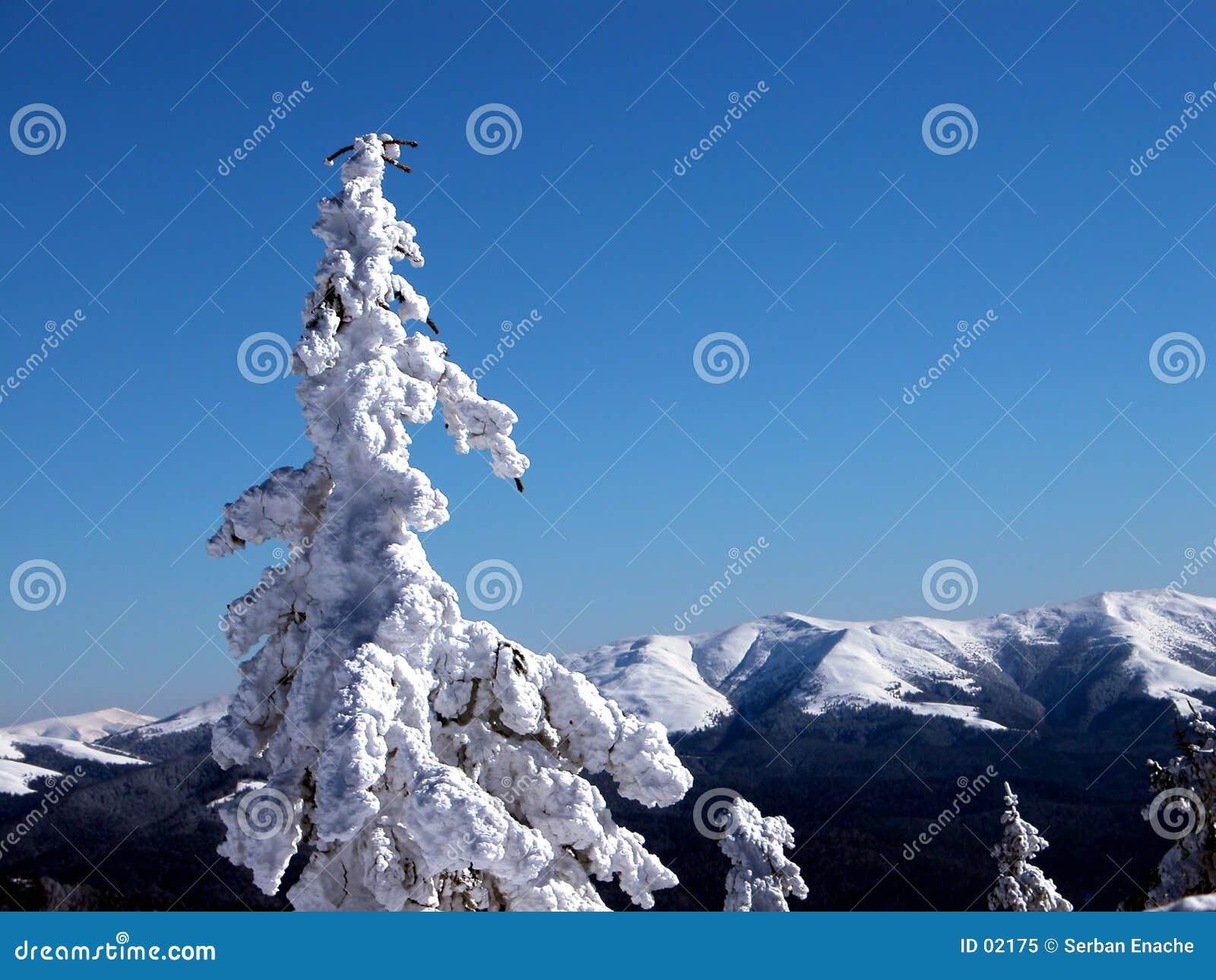 λευκό δέντρων έλατου