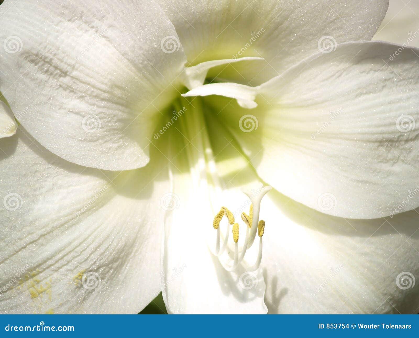 λευκό κρίνων