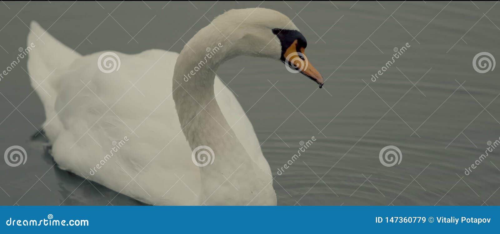Λευκό κύκνων λιμνών