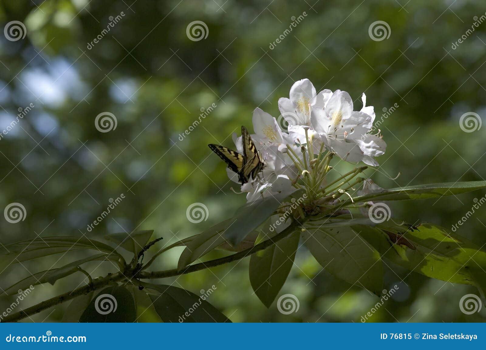 λευκό λουλουδιών πεταλούδων