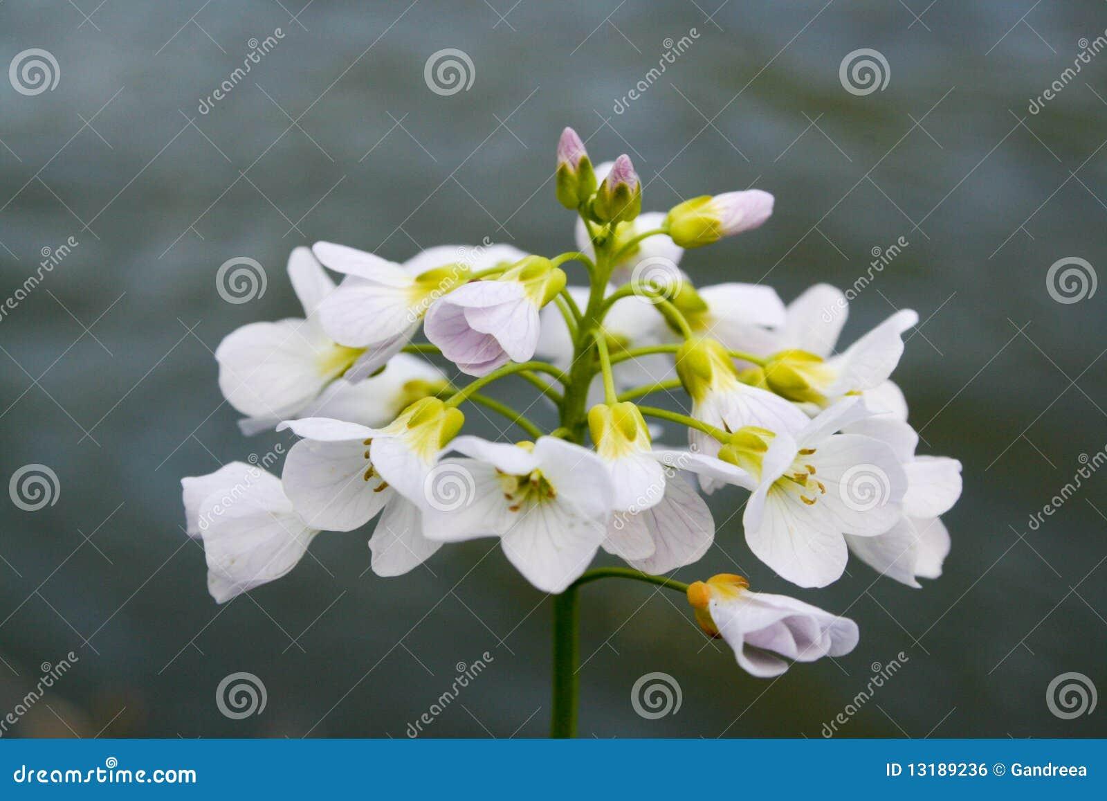 λευκό λουλουδιών