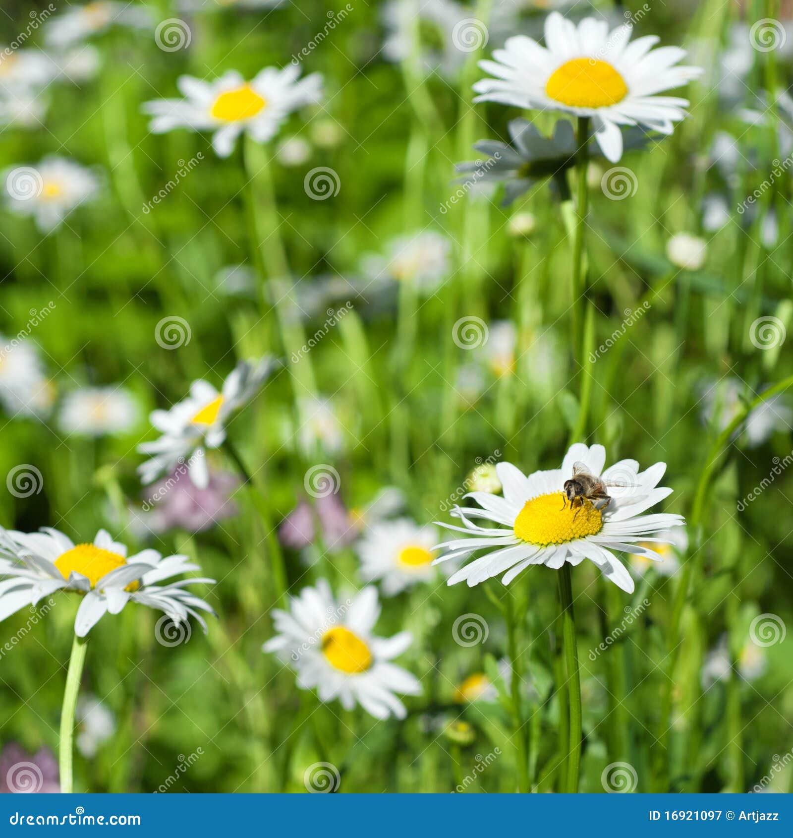 λευκό μελισσών chamomiles