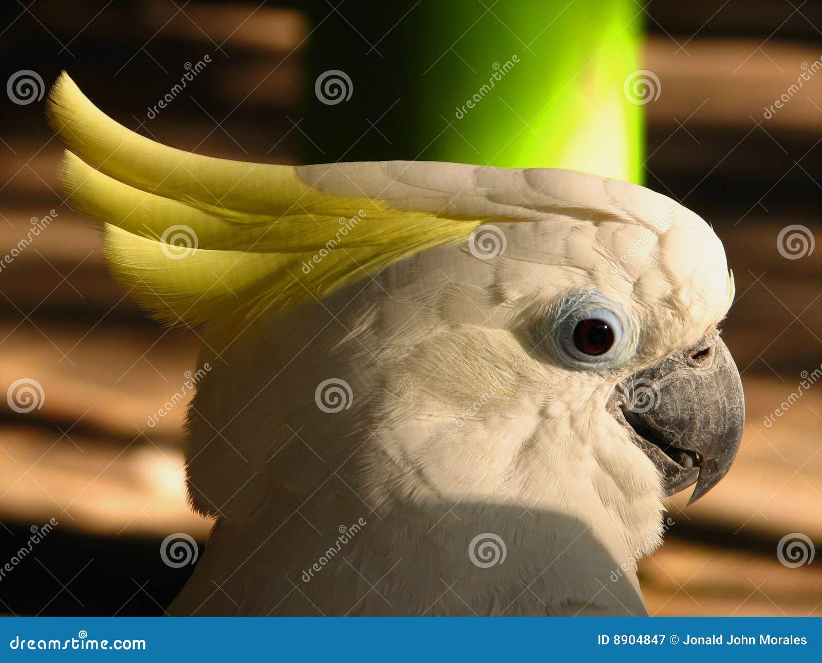 λευκό παπαγάλων