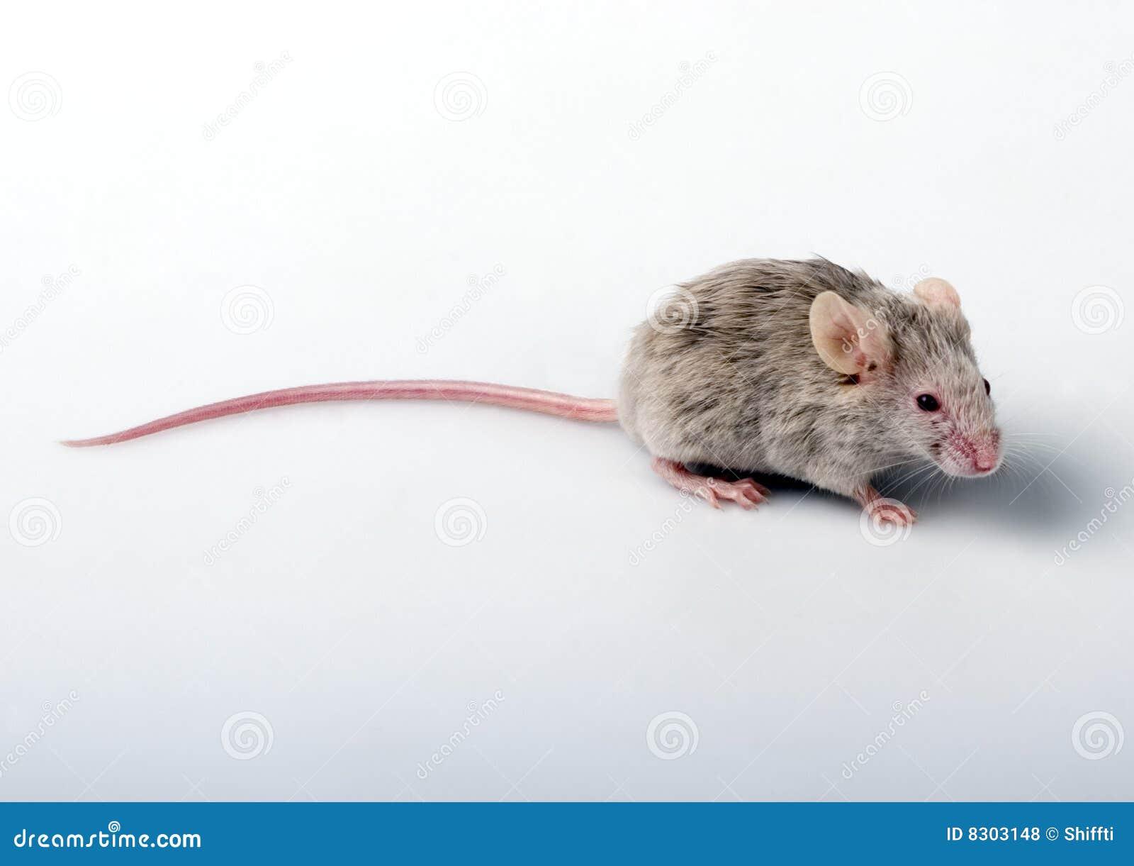 λευκό ποντικιών