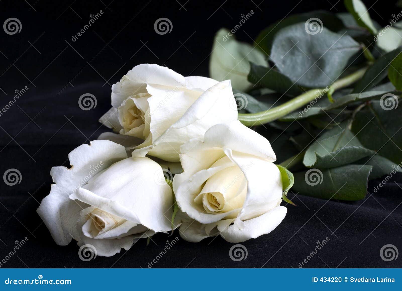 λευκό τριαντάφυλλων