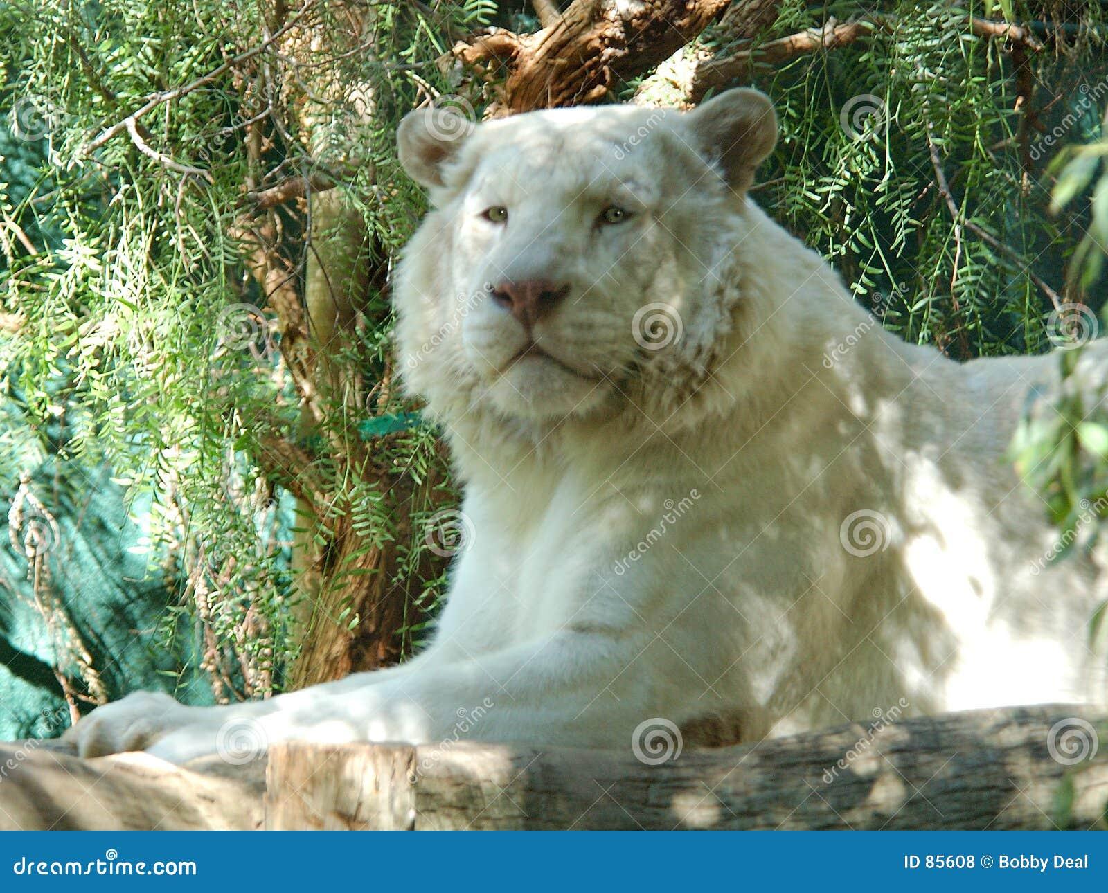 λευκό 2 λιονταριών