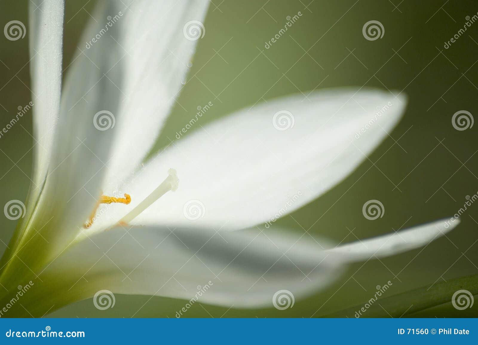 λευκό 2 λουλουδιών