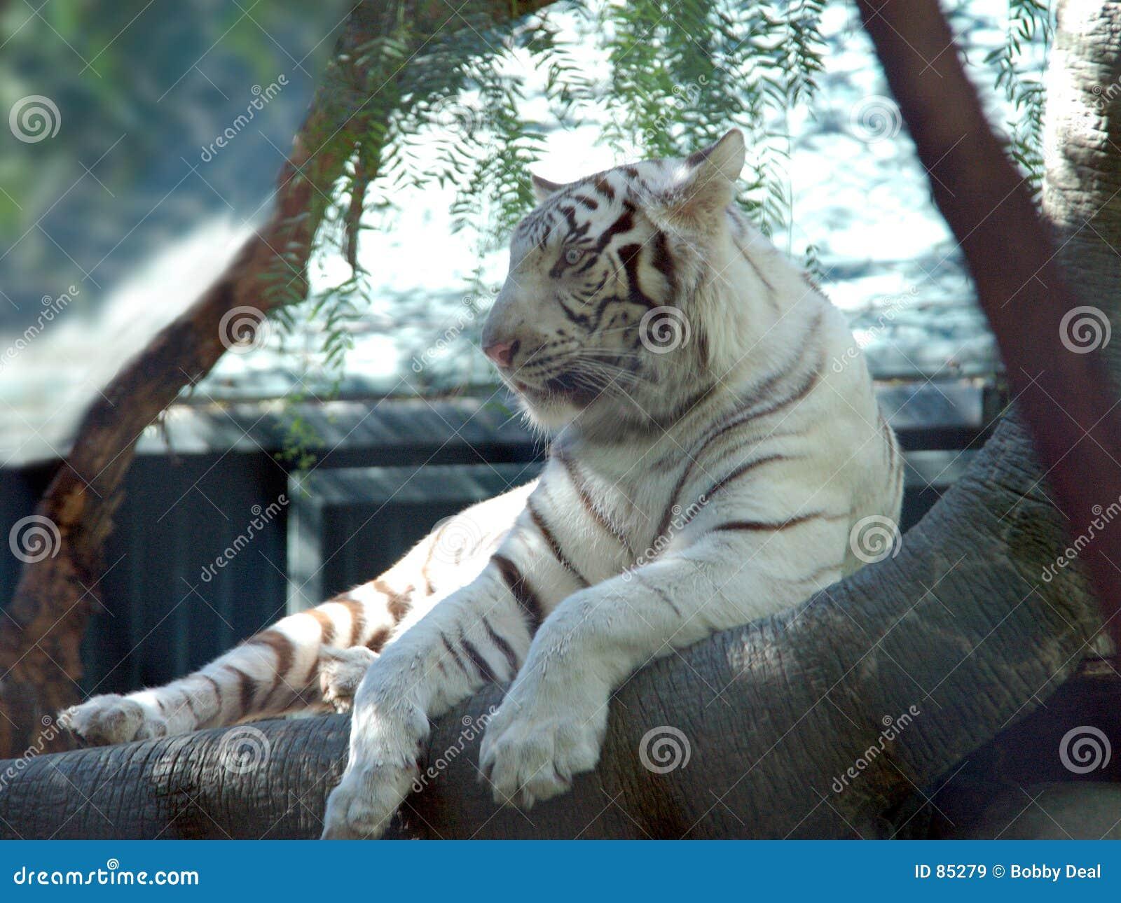 λευκό 5 τιγρών