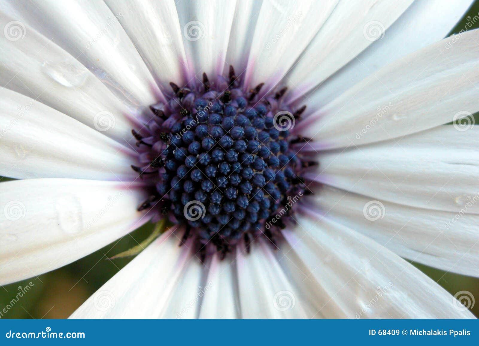 λευκό argyranthemum