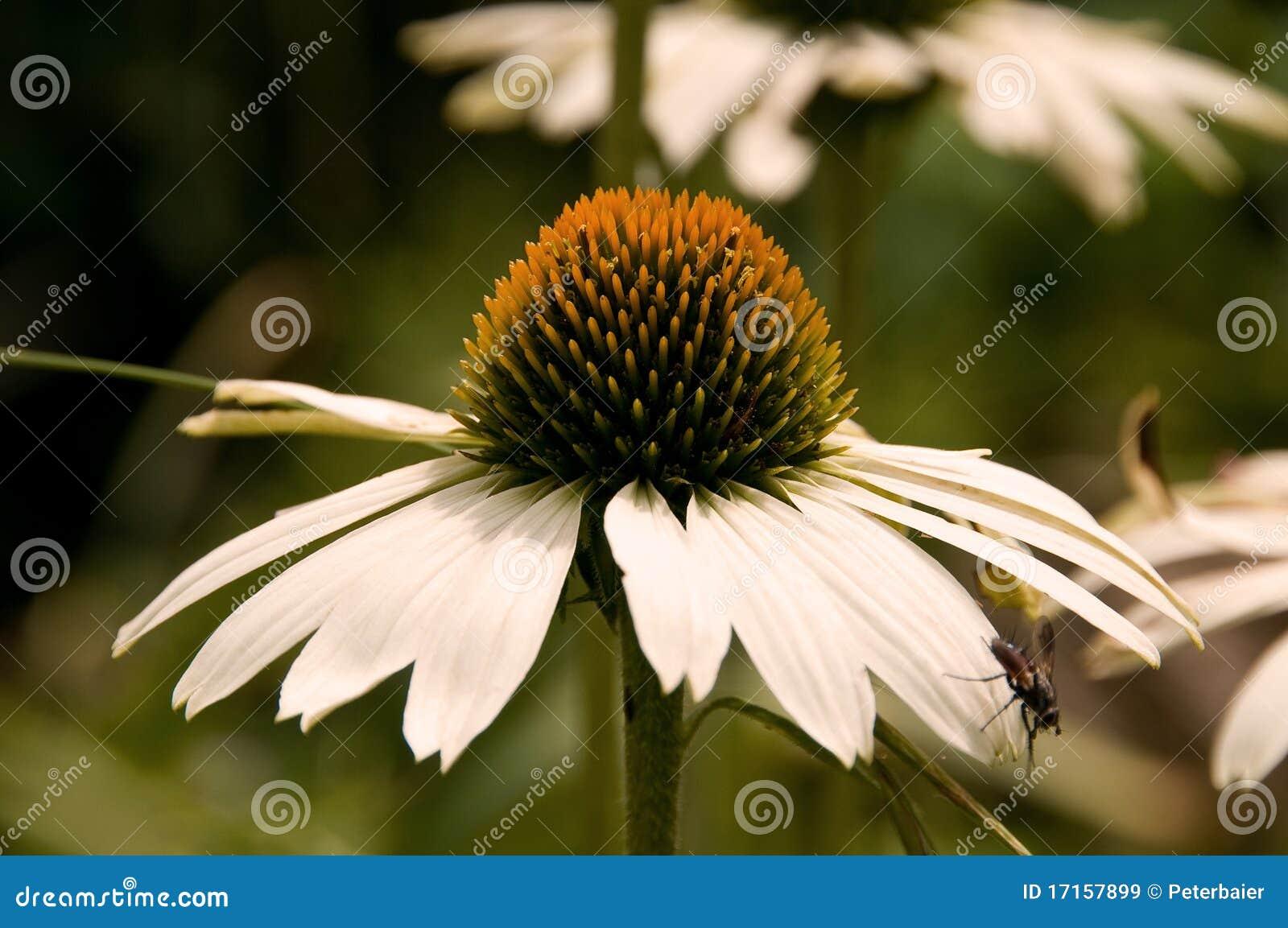 λευκό echinacea