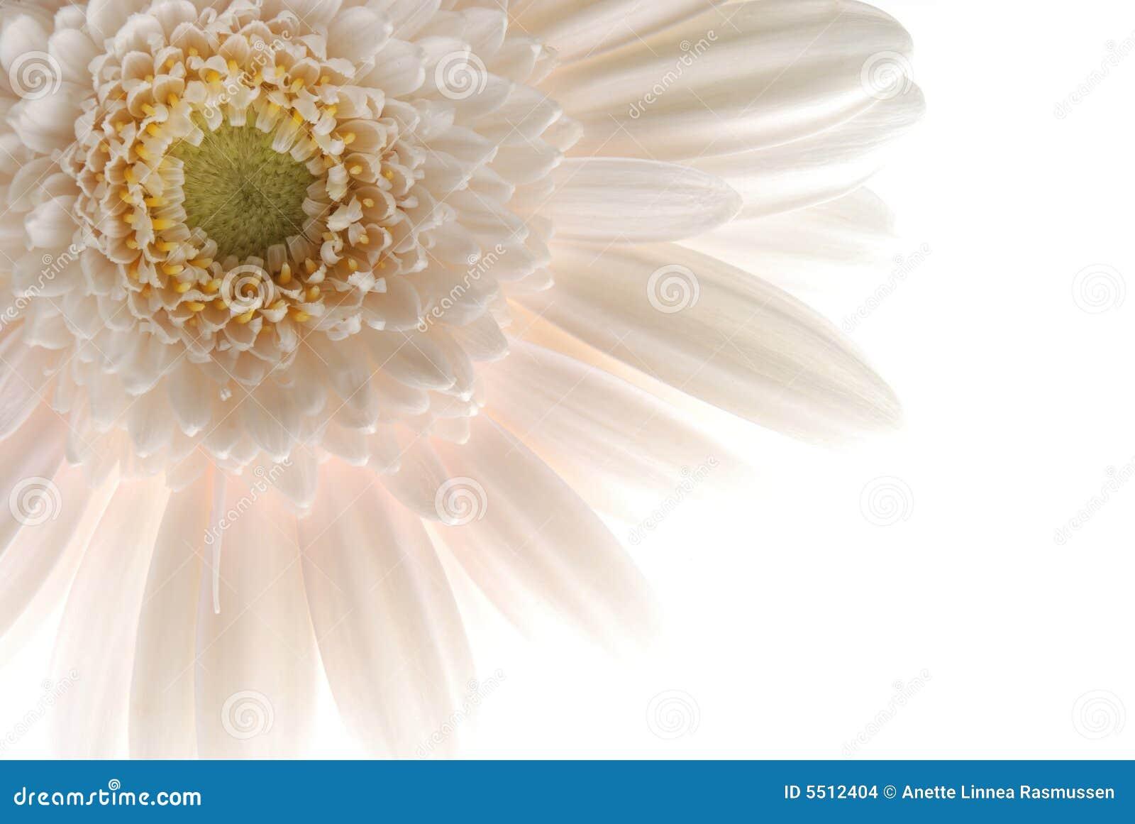 λευκό gerbera